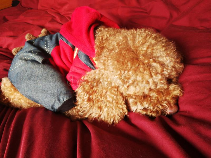 Poodle in suit sleeping. A little Poodle dog dress well suit and sleeping in red background stock photography