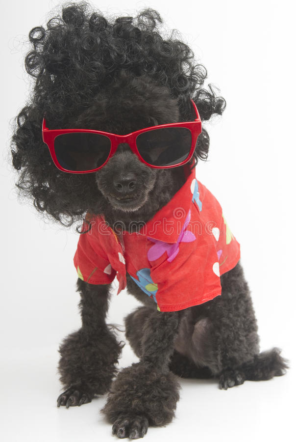 Poodle In Sunglasses and Hawaiian Shirt. A poodle with big black curls, red sunglasses and a Hawaiian shirt stock images