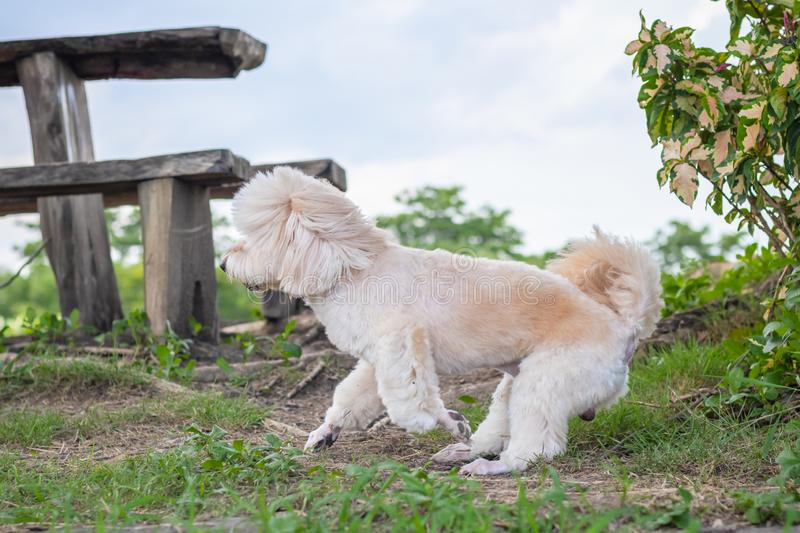 Poodle terrier walking on park, side view, dog running, Cute white poodle dog on green nature, relax pet, poodle terrier mix royalty free stock images