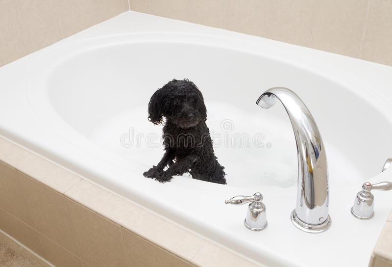 Poodle In A Tub royalty free stock images