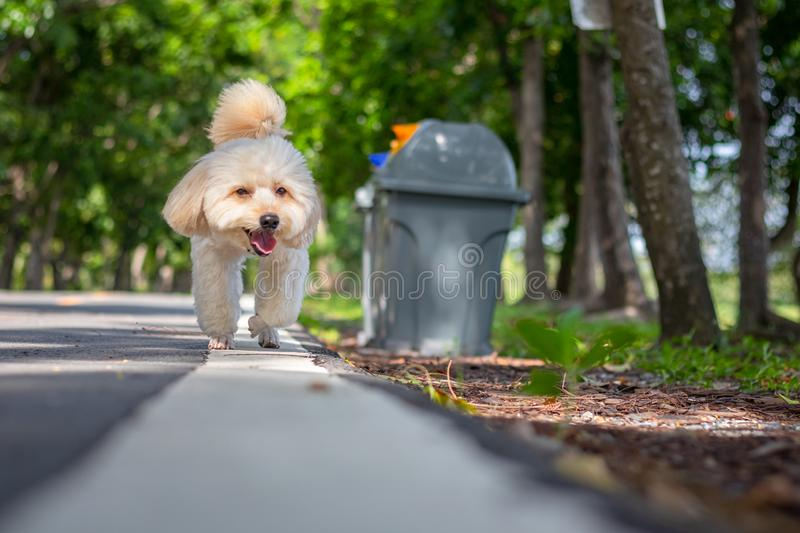 A poodle walking on the road in green park, Cute white poodle dog on green park background, background nature, green royalty free stock photography