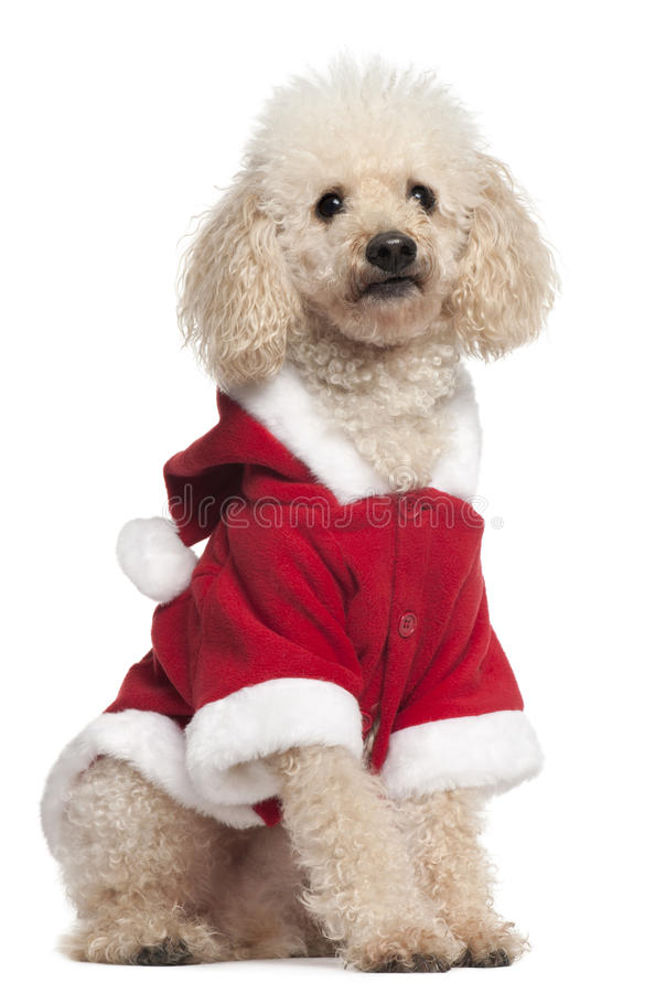 Poodle wearing Santa outfit, 8 years old. Sitting in front of white background stock images