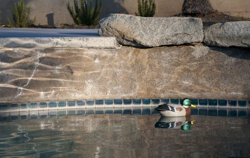 Pool Decoy. Floating Mallard duck decoy pool chlorinator in pool stock photography