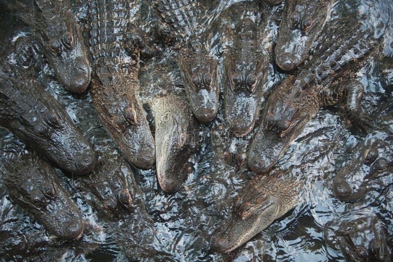 Pool of small alligators royalty free stock photo