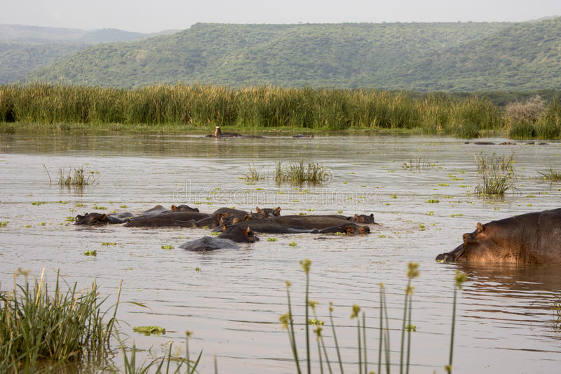 Pool van hippos, Meer Manyara, Tanzania stock fotografie