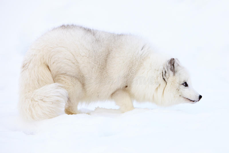 Poolvos in Sneeuw stock foto