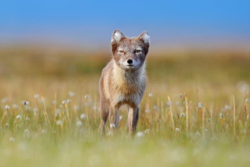 Poolvos, Vulpes-lagopus, leuk dierlijk portret in de aardhabitat, grasrijke weide met bloemen, Svalbard, Noorwegen Mooi stock afbeeldingen