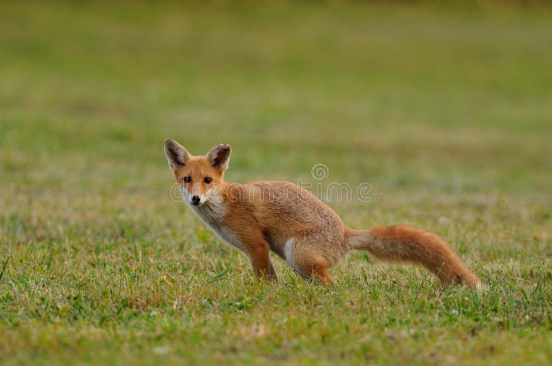 Pooping Fox. This is a young fox in the grassland stock image