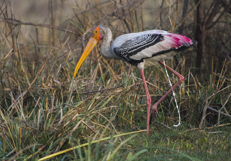Pooping painted stork stock photos