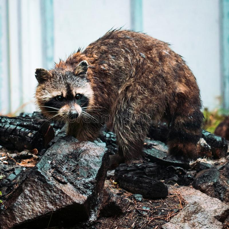 Wet Raccoon Searching For Food Around Moist Rocks stock images