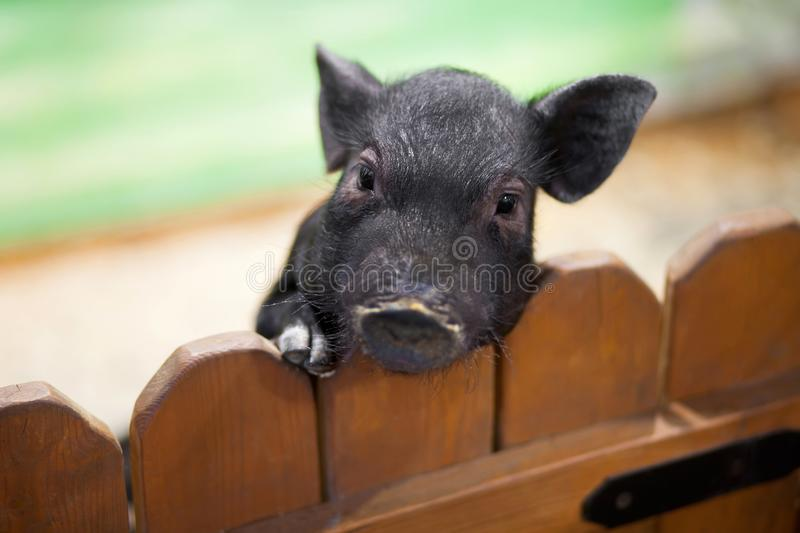 Poor little pig at the petting zoo. royalty free stock photography