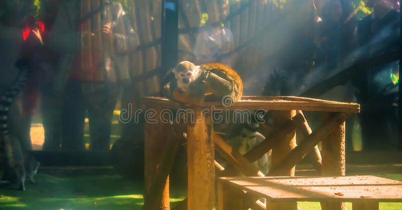 poor monkey in a cage royalty free stock image