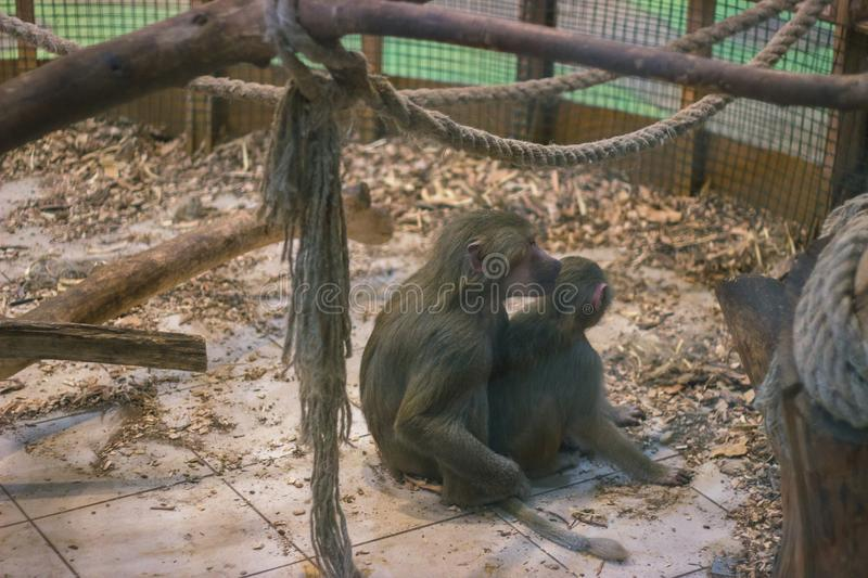 poor monkey in a cage royalty free stock images