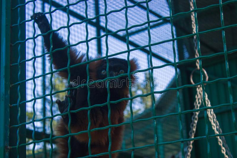 poor monkey in a cage royalty free stock photos