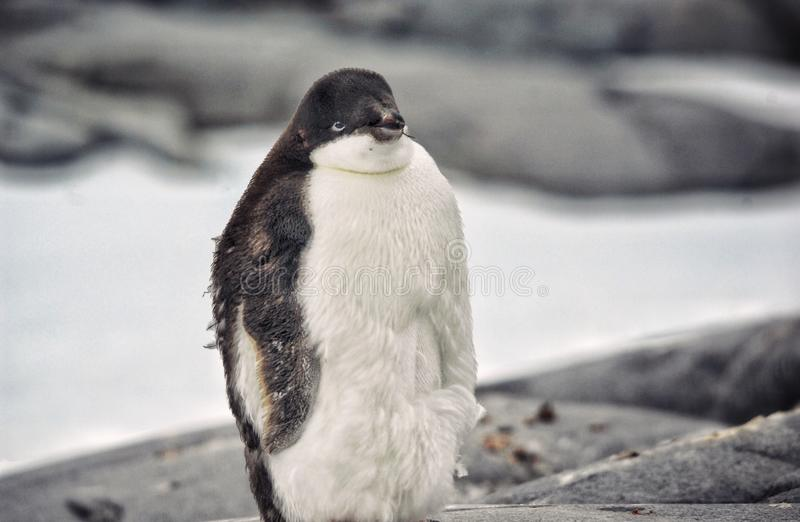 Poor penguin royalty free stock images
