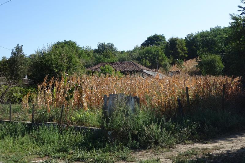 Poor rural houses hidden by corn culture royalty free stock photos