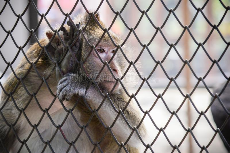 Poor sad monkey behind cage in zoo.loneliness monkey in the cage royalty free stock image