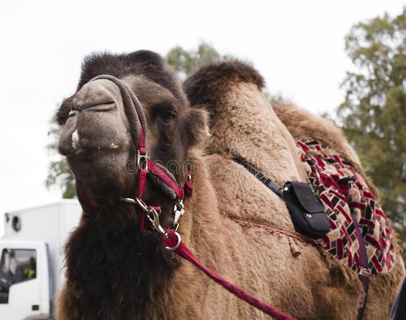 Poor tired circus camel during transportation to diverse zoo. Close up stock photos