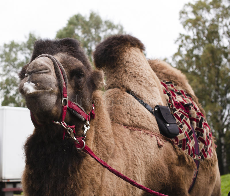 Poor tired circus camel during transportation to diverse zoo. Real poor tired circus camel during transportation to diverse zoo royalty free stock photo