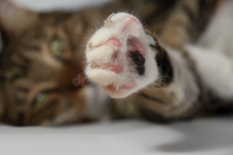Poot van een binnenlandse kat met vrijgegeven klauwen stock afbeelding