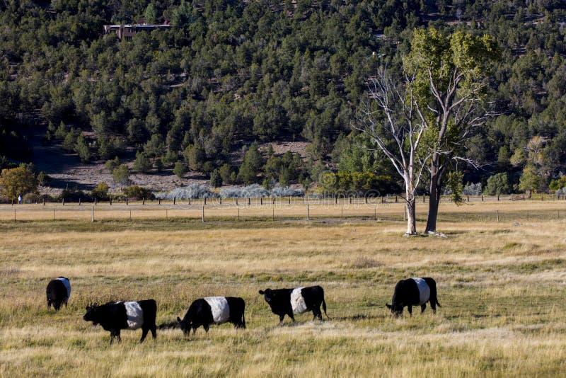 """Popędzający Galloway """"Oreo"""" bydło w Montrose Kolorado obraz royalty free"""