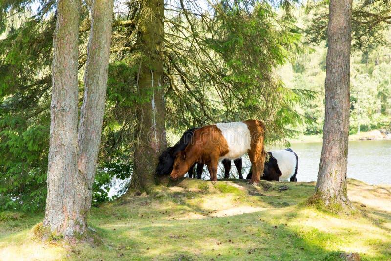 Popędzający Galloway krowy traken bydło obrazy stock
