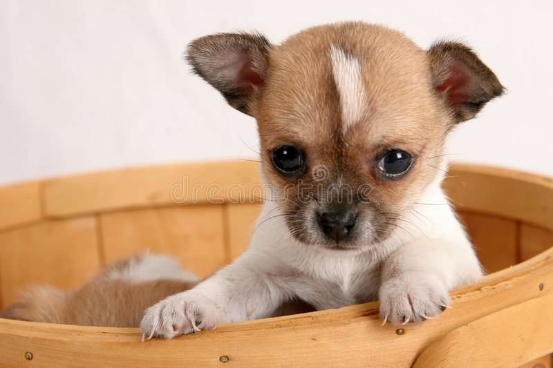 Pop-up puppy. Chihuahua puppy looking out from basket