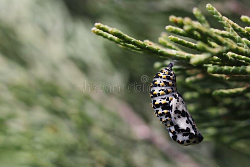 Popcocon van vlinder van Papilio-familie het hangen op tak van Mediterrane Cipres Cupressus sempervivens stock fotografie