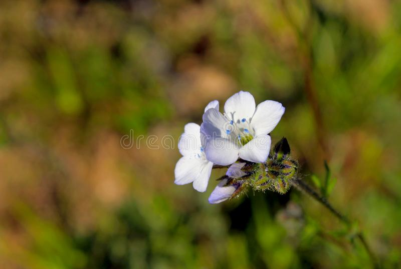 Gilia stellata, Star Gila. Star Gila is closely related to Gilia scopulorum, distinguished by its short corolla tube which does not exceed the calyx. White Star royalty free stock photos