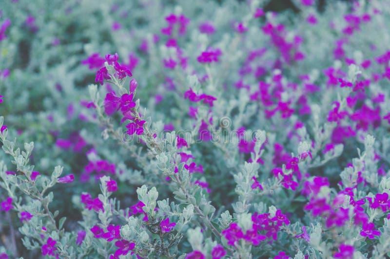 Popiół roślina, barometru muśnięcie, Purpurowa mędrzec, strażnika teksasu kwiat, p obrazy stock