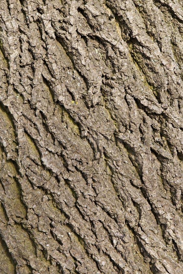 popiółu barkentyny tekstury drzewo zdjęcie royalty free