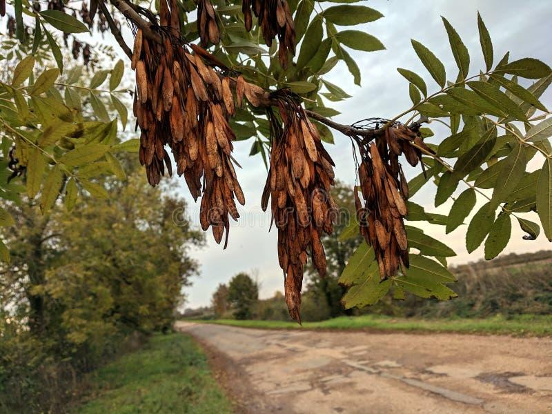 Popiółu drzewa klucze w jesieni zdjęcia stock