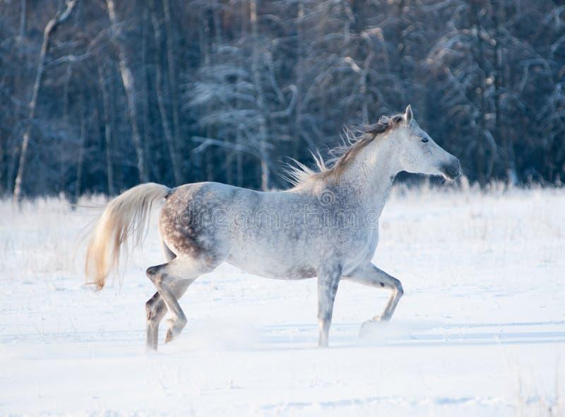 Popielaci arabscy kobyli bieg uwalniają w zimie fotografia royalty free