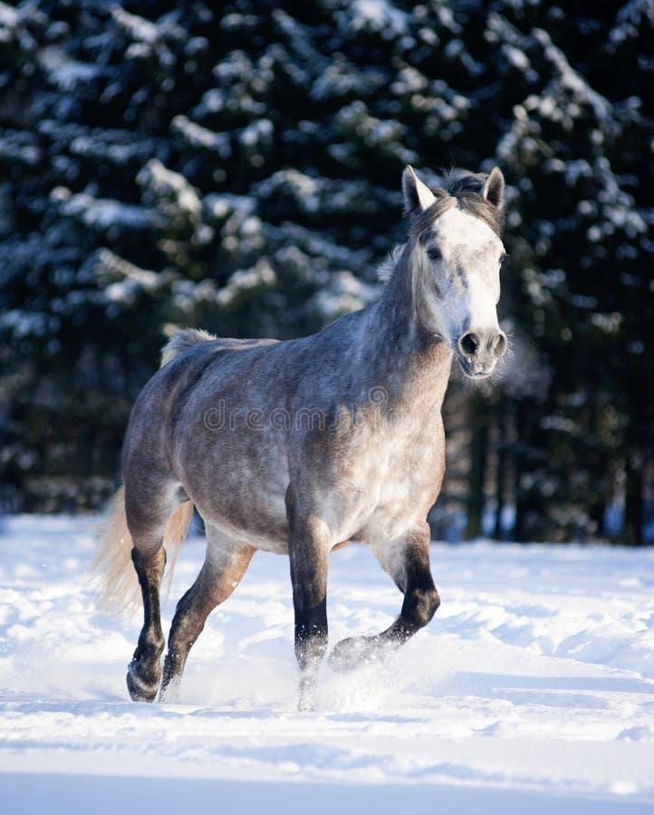 Popielaci końscy bieg uwalniają w zimie obrazy stock