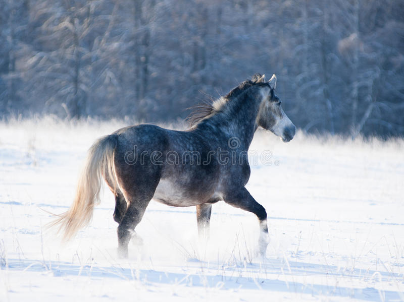 Popielaci końscy bieg uwalniają w zimie fotografia stock