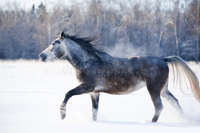 Popielaci końscy bieg uwalniają w zimie zdjęcia royalty free