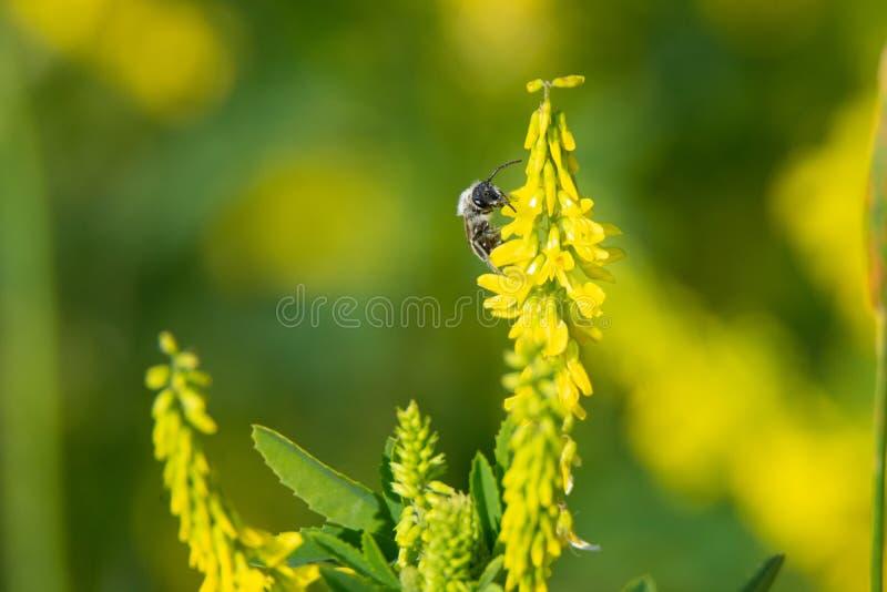 Popielata ashy górnicza pszczoła lądował na żółtym kwiacie obrazy royalty free