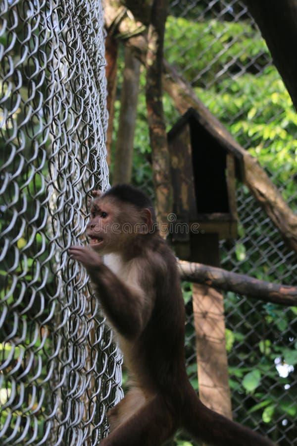 Popielata capuchin małpa, cebus albifrons exitingly podąża coś na zewnątrz klatki obraz royalty free