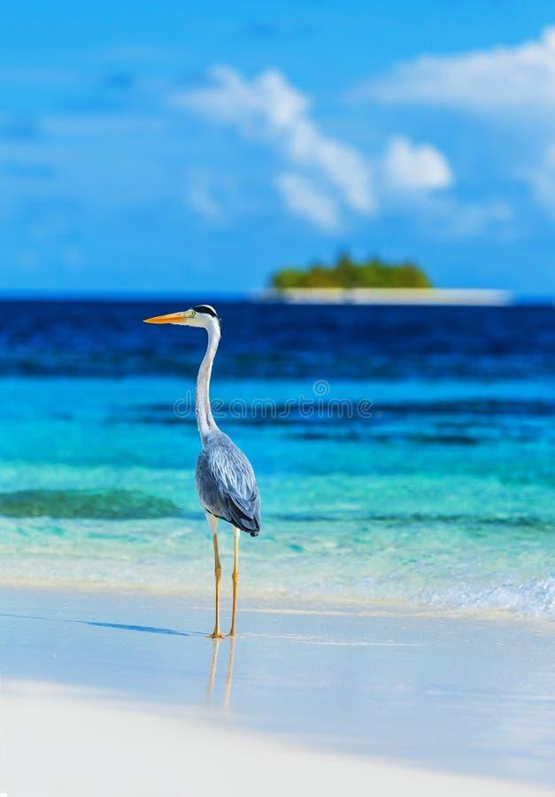 Popielata czapla na Maldives wyspie zdjęcie stock
