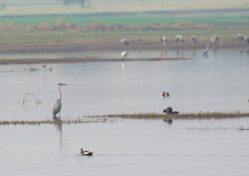 Popielata Czaplia pozycja w jeziorze fotografia royalty free