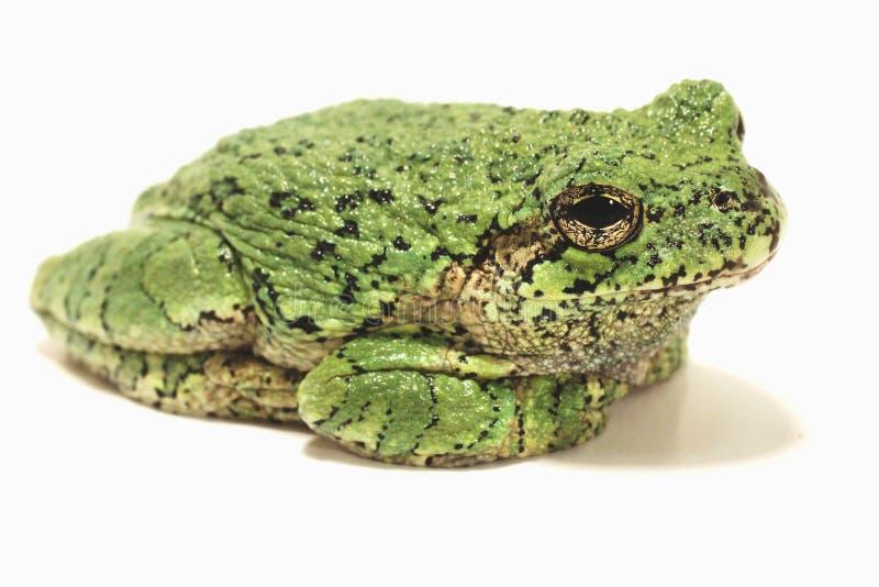 Popielata Drzewna żaba na Białym tle fotografia royalty free