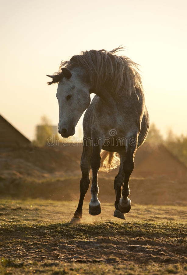 Popielata końska sztuka w ranku obraz royalty free
