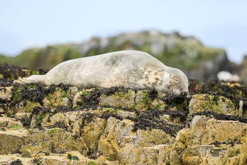 Popielata pospolita foka na skałach obraz royalty free