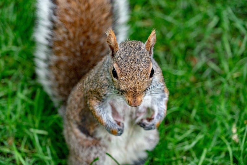 Popielata wiewiórka na zielonym portreta spojrzeniu przy tobą obrazy stock