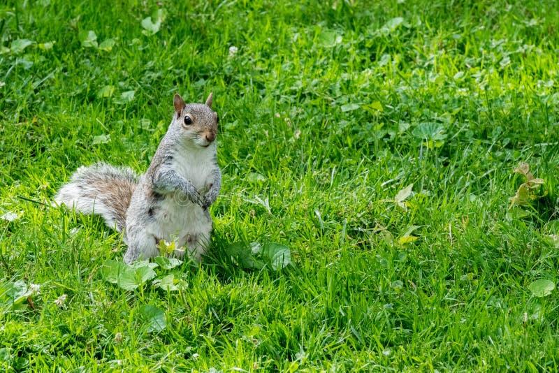 Popielata wiewiórka na zielonym portreta spojrzeniu przy tobą fotografia stock