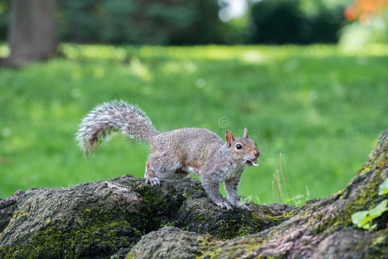 Popielata wiewiórka na zielonym portreta spojrzeniu przy tobą zdjęcia stock