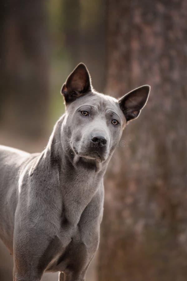 Popielatego szczeniaka ridgeback Tajlandzki pies na foge podłodze obraz royalty free