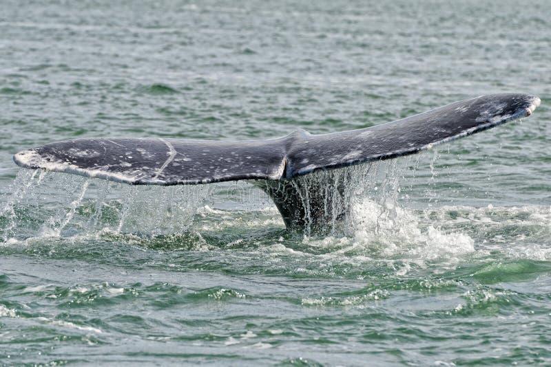 Popielatego wieloryba ogon iść w dół w oceanie zdjęcia stock