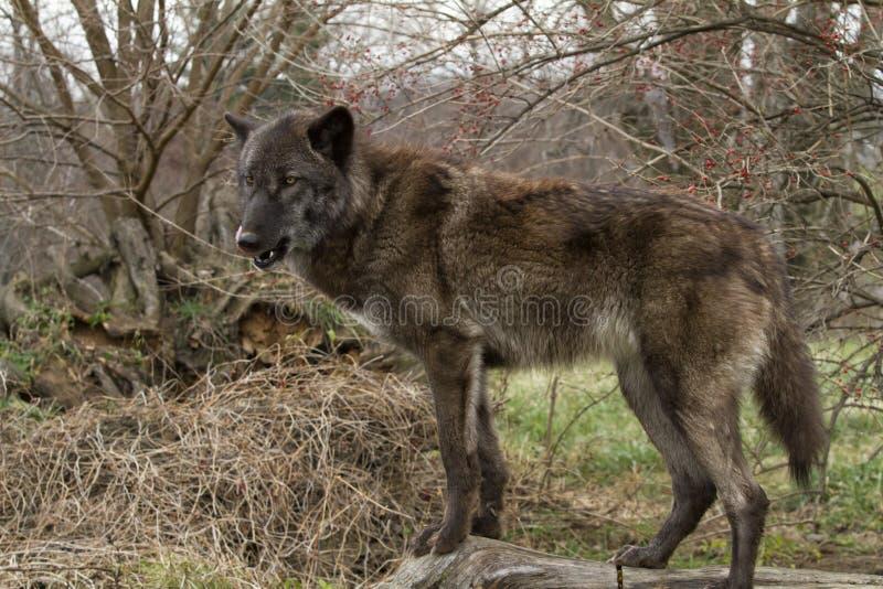 Popielatego wilka Brown faza z jęzorem Za fotografia stock