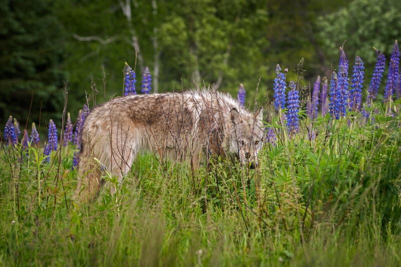 Popielatego wilka Canis lupus roczniak ono Przygląda się Out od łubinu obrazy stock